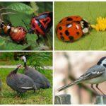 Colorado Patates Böceği Kurtulmanın Biyolojik Yöntemleri
