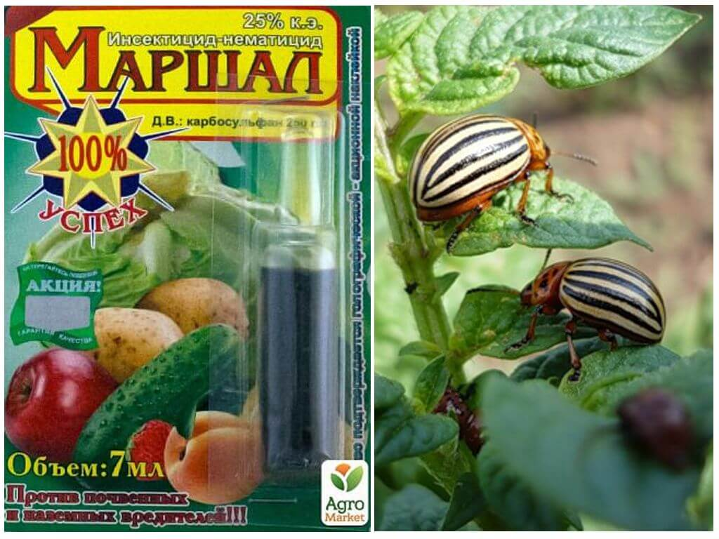 Colorado Patates Böceği gelen Marshal anlamına gelir