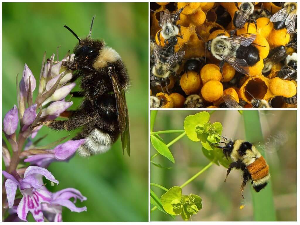 Bumblebees ve bal
