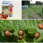 Colorado Patates böceği katil
