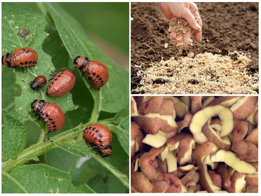 Colorado Patates Böceği gelen talaş ve patates kabukları