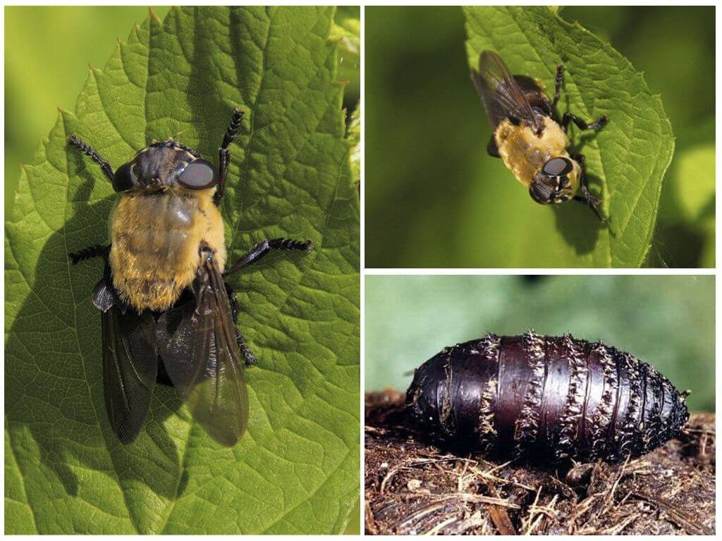Gastrik gadfly