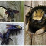 Arı marangoz