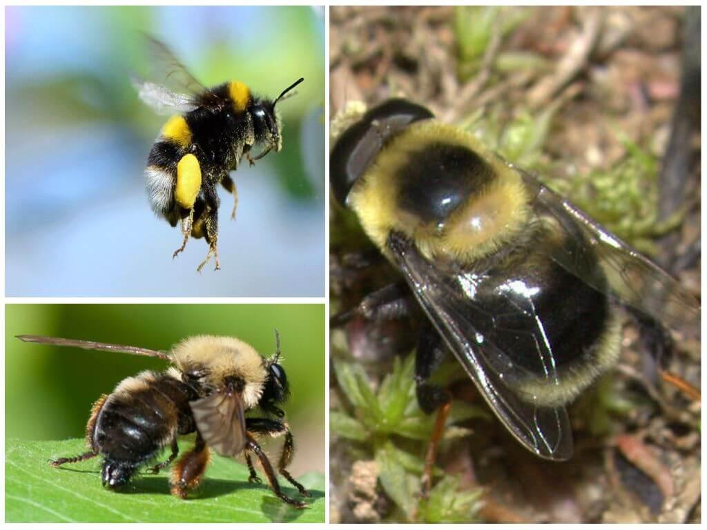Bumblebee uçuşu