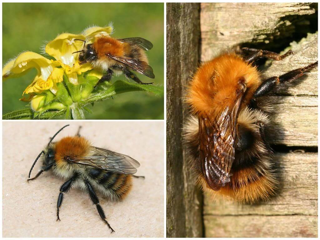 Alan yaban arısı