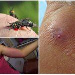 Bir gadfly lokma etkileri