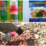Colorado Patates Böceği'nden patates tohumlarının işlenmesi için hazırlıklar