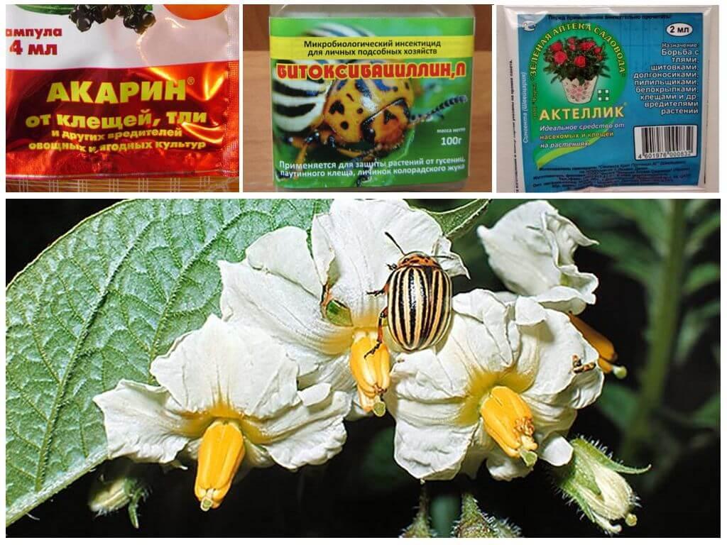 Colorado Patates Böceği ile mücadele için hazırlıklar