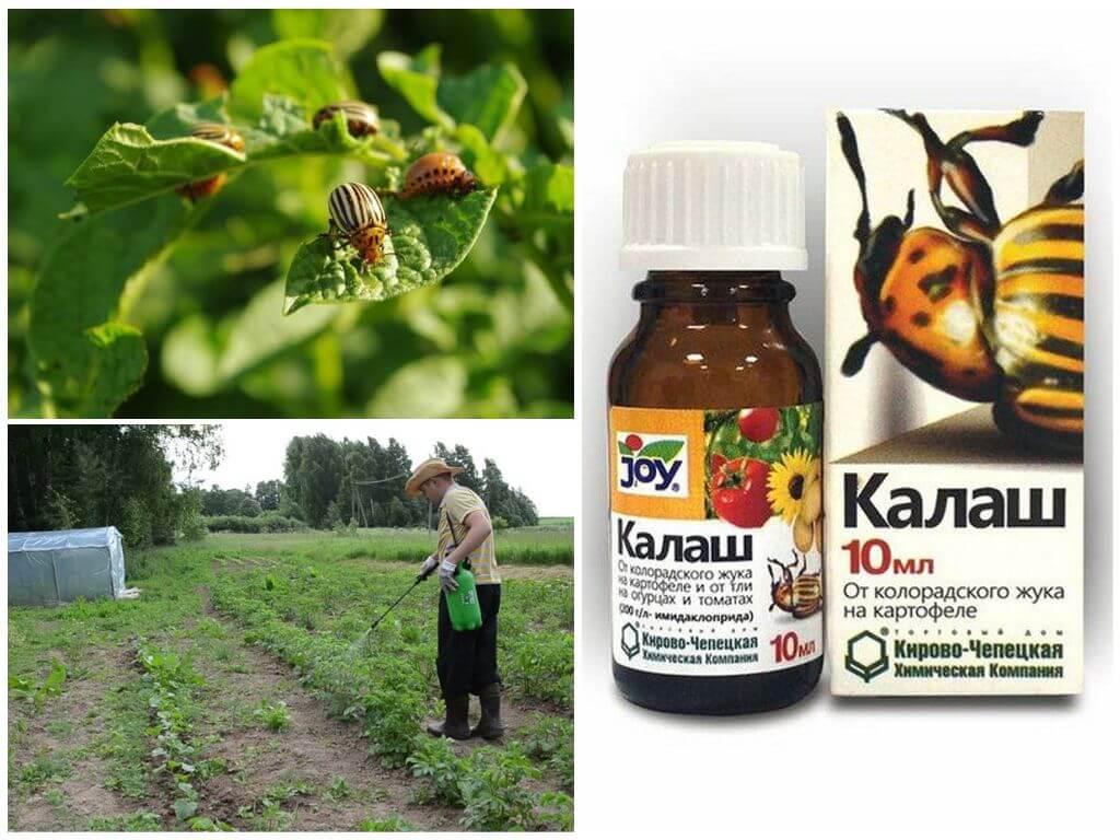 Colorado Patates böceği ilacı Kalash kullanımı
