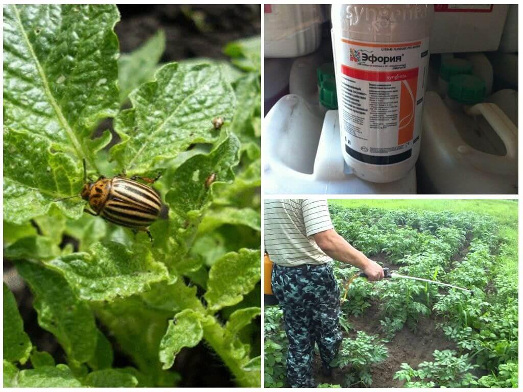 Colorado Patates Böceği yıkımı için ilaç Ephoria Kullanımı