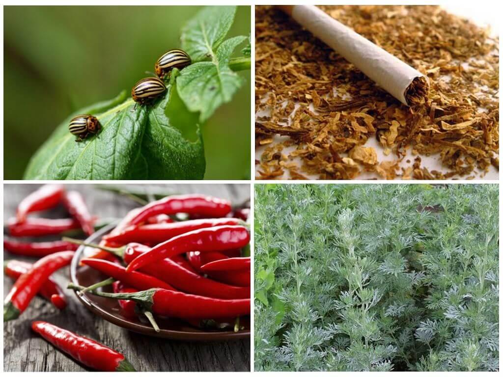 Colorado Patates böceği için halk ilaçları