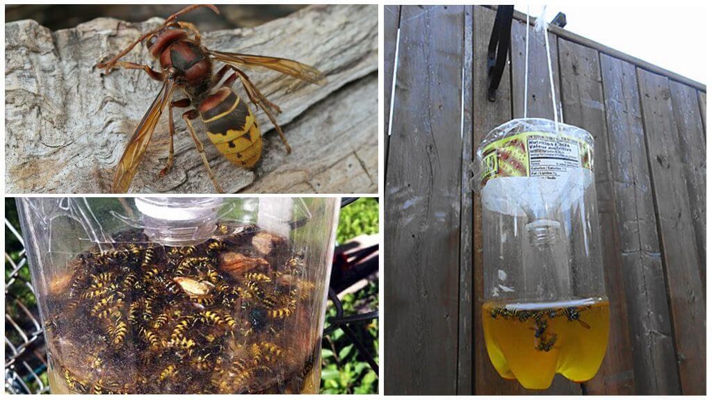 Hornets ve eşekarısı için ev yapımı tuzaklar