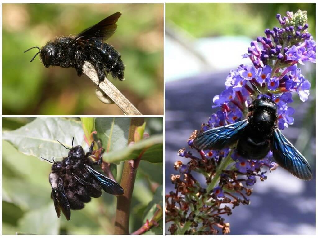 Mor (mavi) bumblebee marangoz