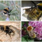 Grimsi bir renk tonu ile Bumblebees