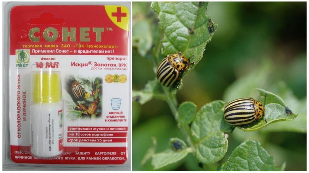 Colorado patates böceği Sonnet