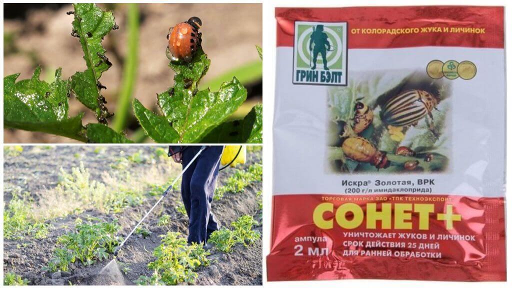 Colorado patates böceği Sonnet için çare