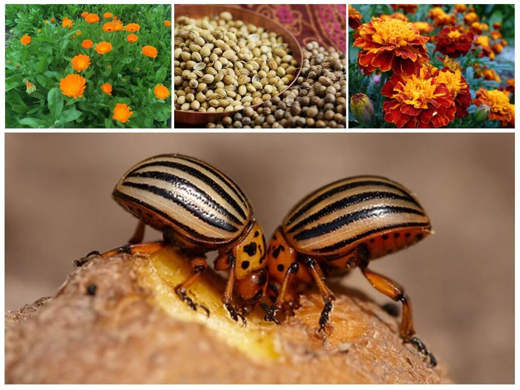 Colorado Patates böceği otlar