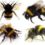 Bumblebee'nin görünüşü
