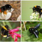 Bumblebee türleri
