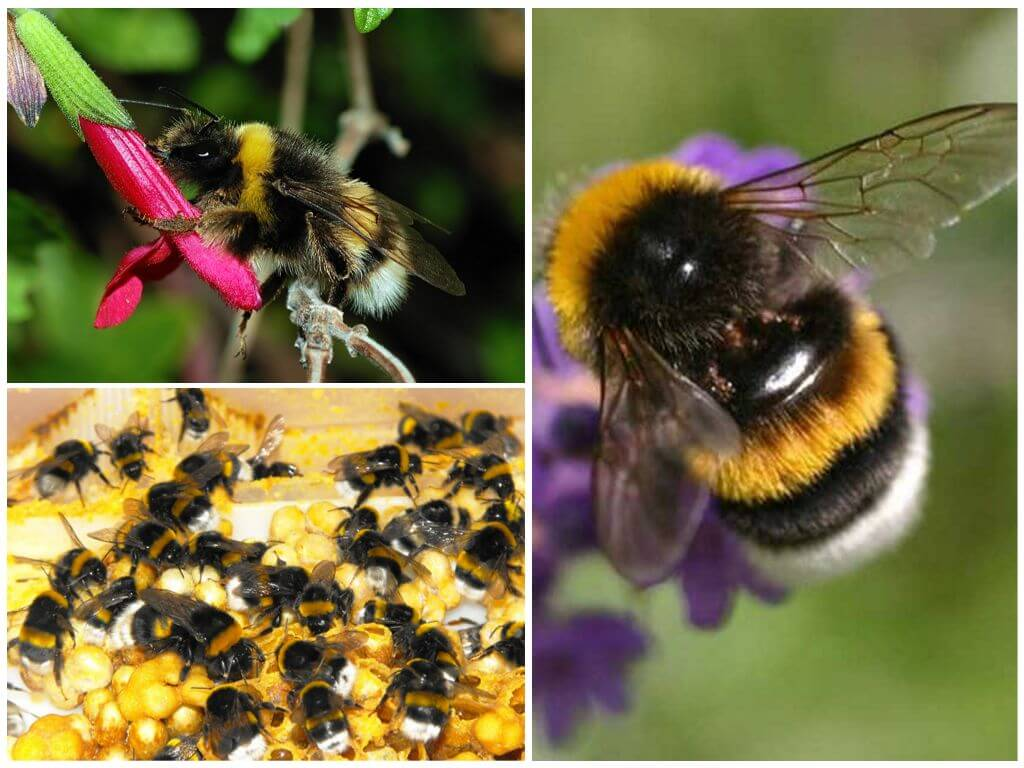 Dünya Bumblebee