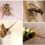 Arı ve eşek arısı onların sokması