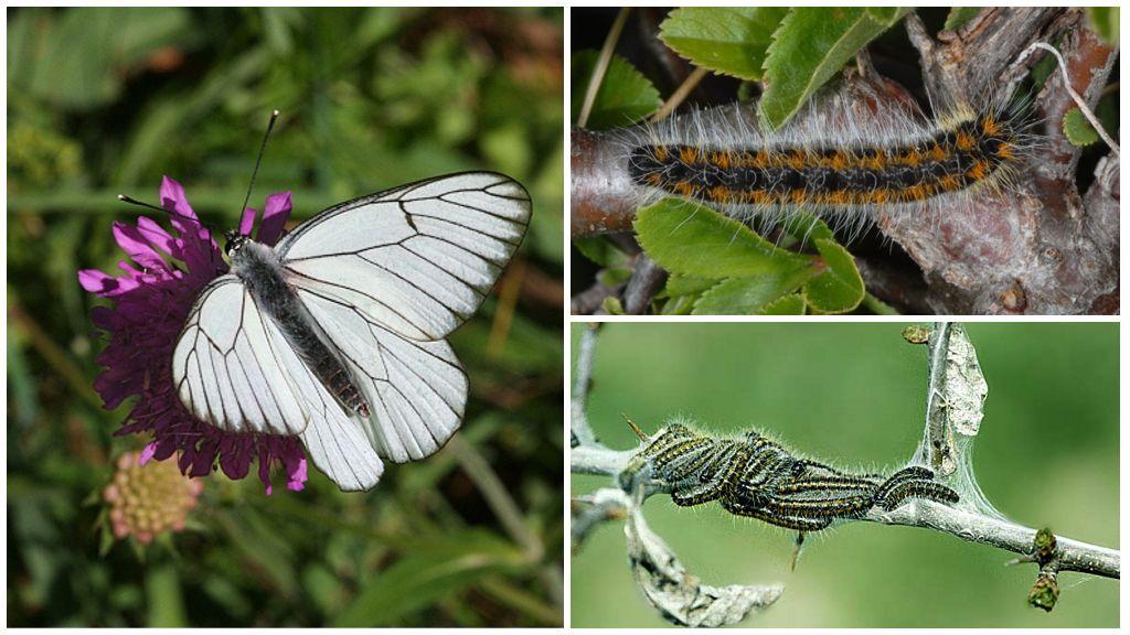Caterpillar ve Kelebek Alıç