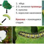 Kelebek Kase Geliştirme Döngüsü