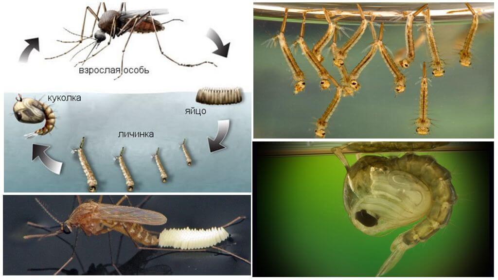 Sivrisinek yetiştirme döngüsü