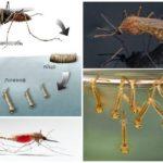 Sivrisinek ıslahı