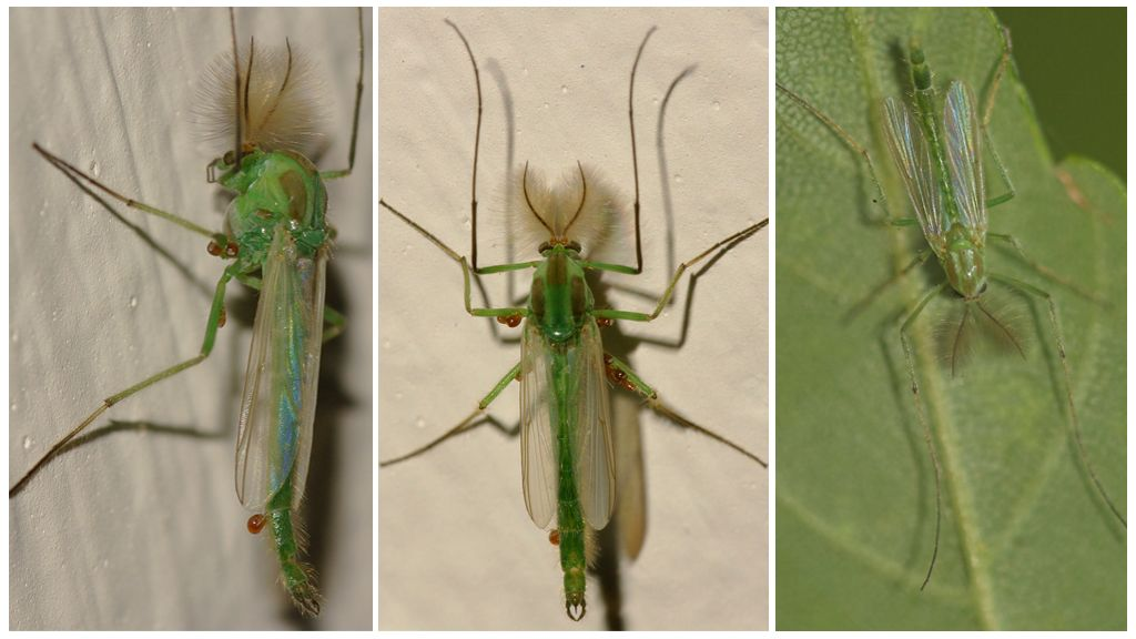 Yeşil çan sivrisinek