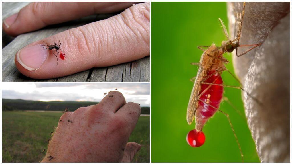Sivrisinekler kan içer