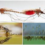 Sivrisinek yaşam tarzı