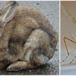 Tavşanlar ve sivrisinekler