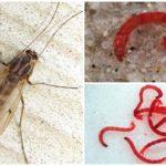 Ortak sivrisinek (bloodworm) larvaları