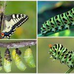 Swallowtail tırtıl