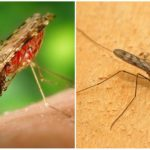 Sıtma sivrisinek