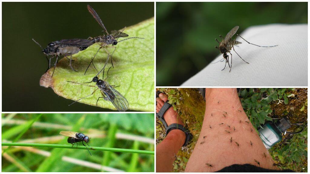 Kara sinekler ve sivrisinekler
