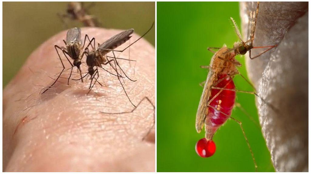Bir sivrisinek hayati aktivitesi