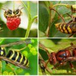 Yaban arıları ve Hornets