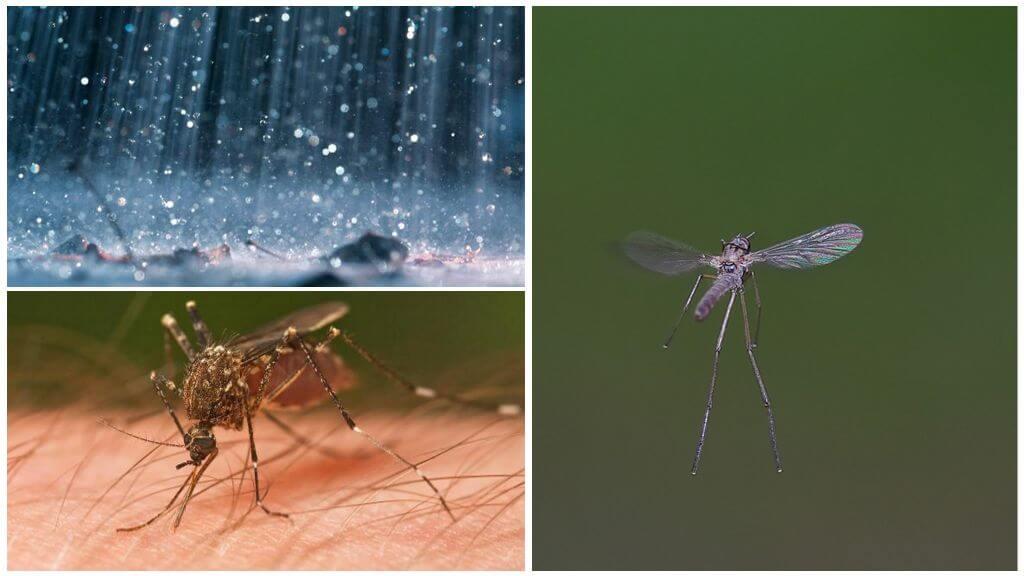 Yağmurda uçan sivrisinek