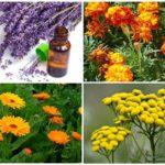 Kelebekler lahana korkutmak bitkiler