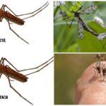 Kadın ve erkek sivrisinek