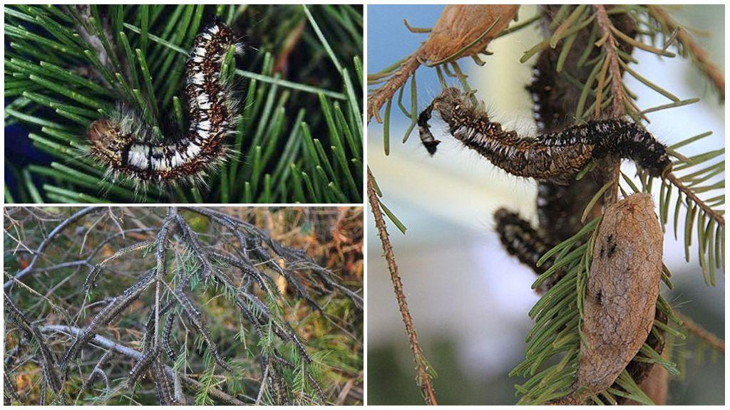 Sibirya ipekböceğinin tırtılları