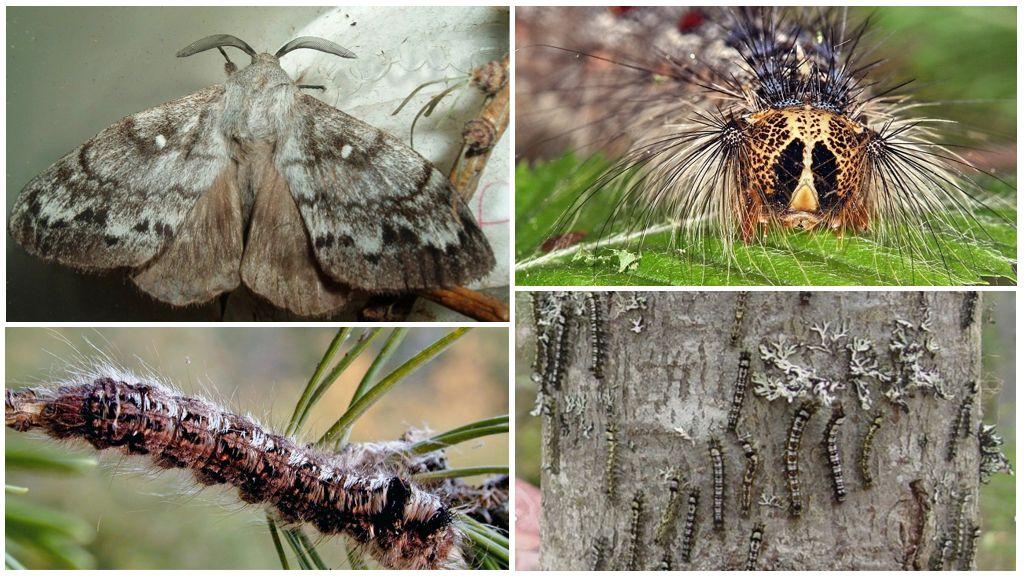 Caterpillar ve Sibirya ipekböceği kelebek