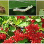 Viburnum zararlıları