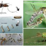 Sivrisinek yaşam döngüsü