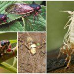 Ağustos böcek