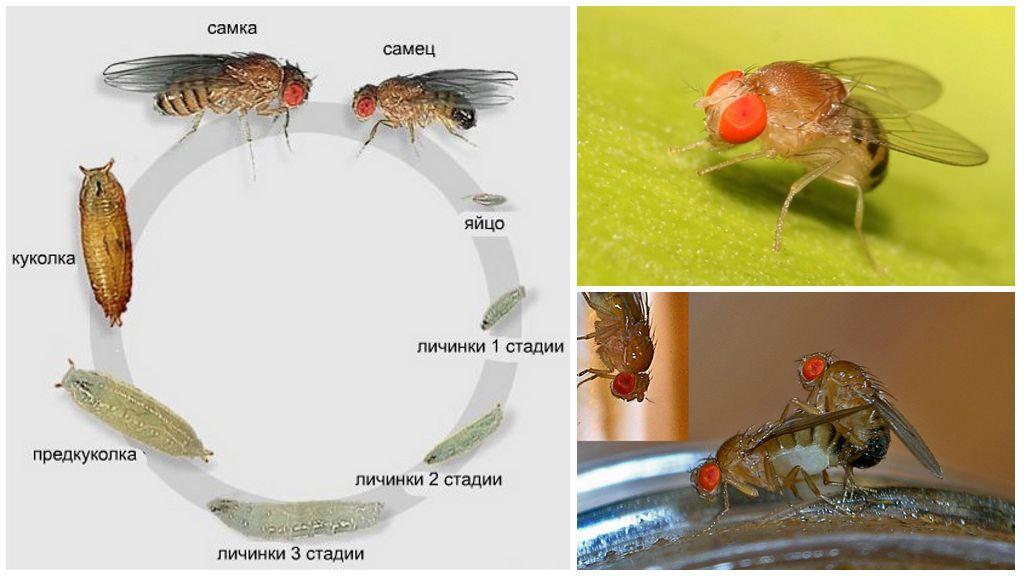 Fly yaşam döngüsü