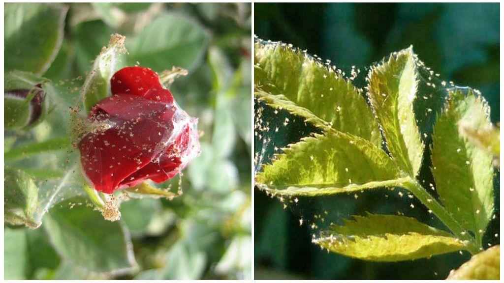 Örümcek bitkileri
