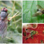 Ahududu sineği